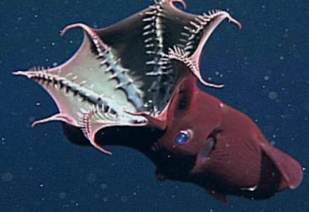 vampire-squid-feeding