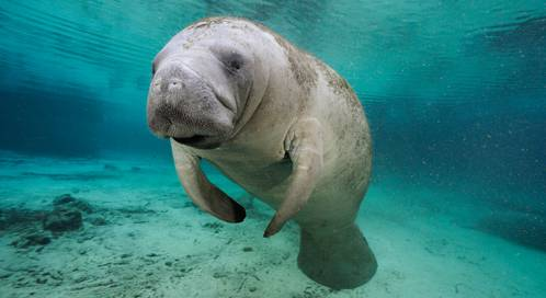 florida-manatee-brian-j-skerry-ngs-0917