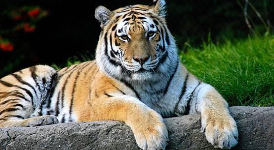 siberian_tiger_1