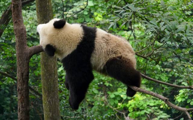 sleeping-panda-sur-arbre