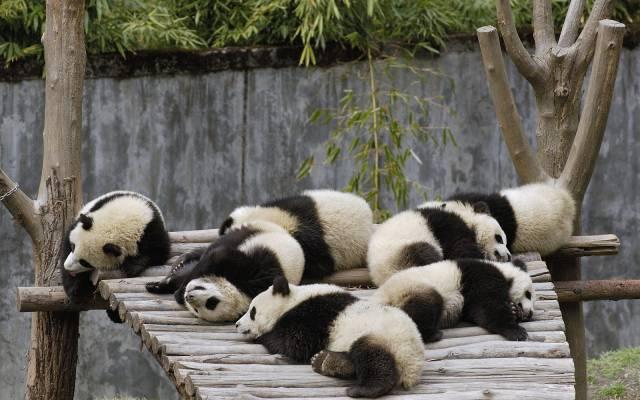 sleeping-pandas