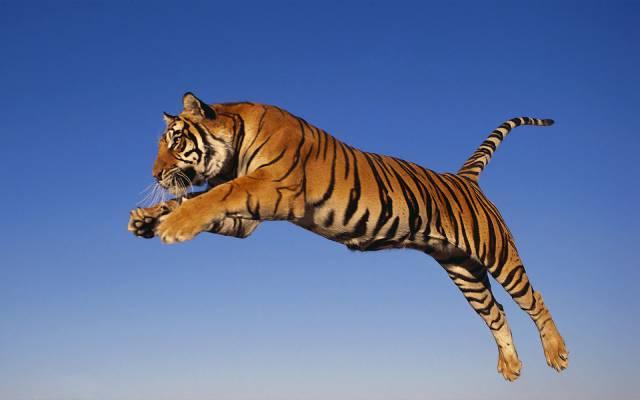 tiger-image-13
