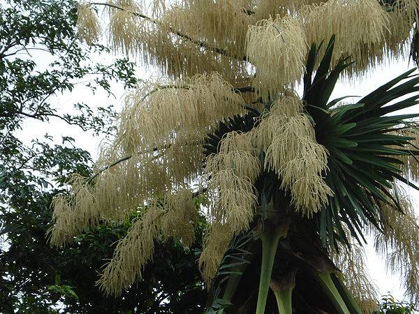 600px-flowering_talipot_palm_03