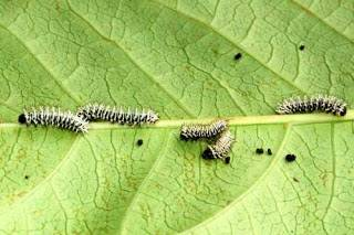 atlas_moth_small_caterpillars