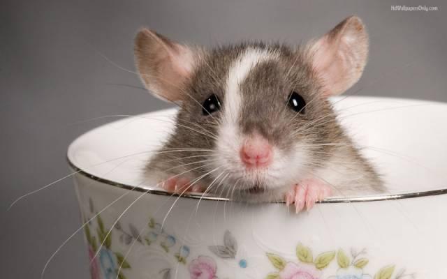 cute-pet-rats-13__880