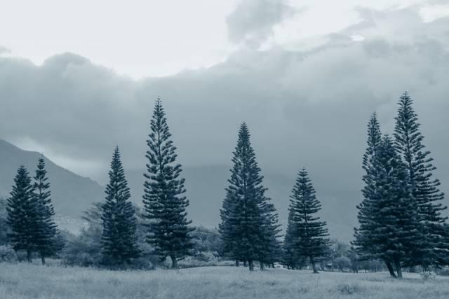 pine-trees-937321_960_720