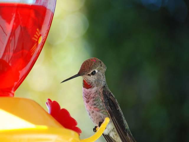 talkotherbirds-01-23-23-hummingbird-wikipedia
