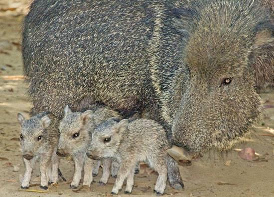 e3440ada35fa62cb_chacoan-peccary-three-pigle
