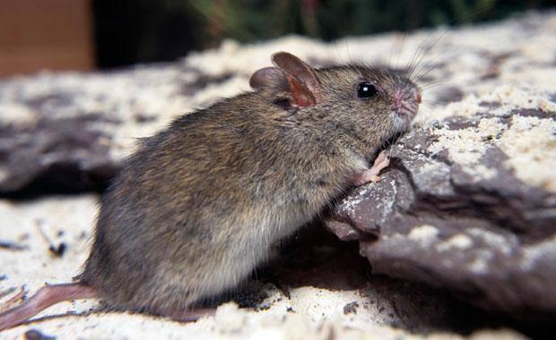 new-holland-mouse-2-animal-profile-web620