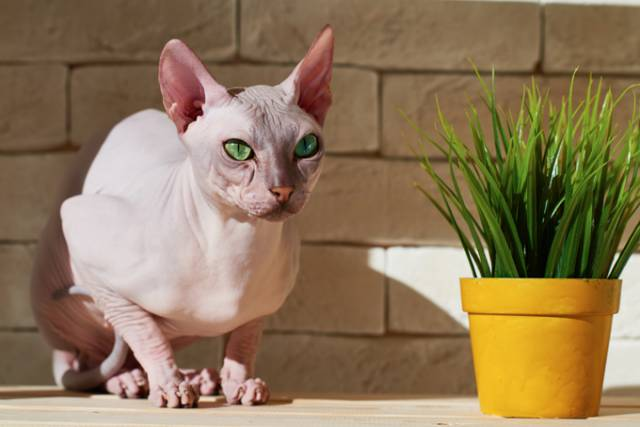 sphynx-cats-and-kittens-2